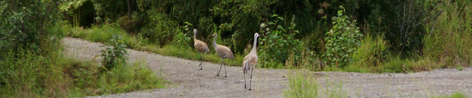 photo - family of local cranes